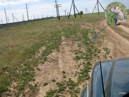 Суслики. Астраханская область.