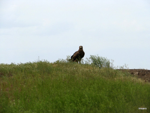 Степной орел. Астраханские степи. Астраханская область.